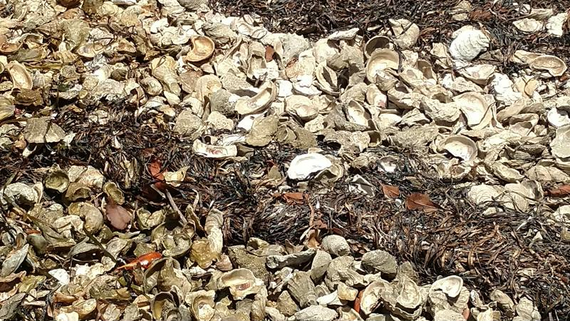 oyster shells-800x600